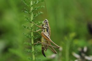 brown-and-green-cricket-perched-on-green-stem